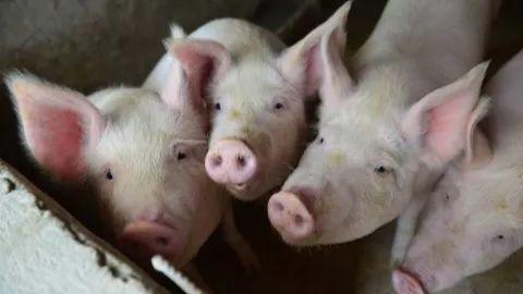 Alert! New Swine Fever Case Detected in Guangzhou!